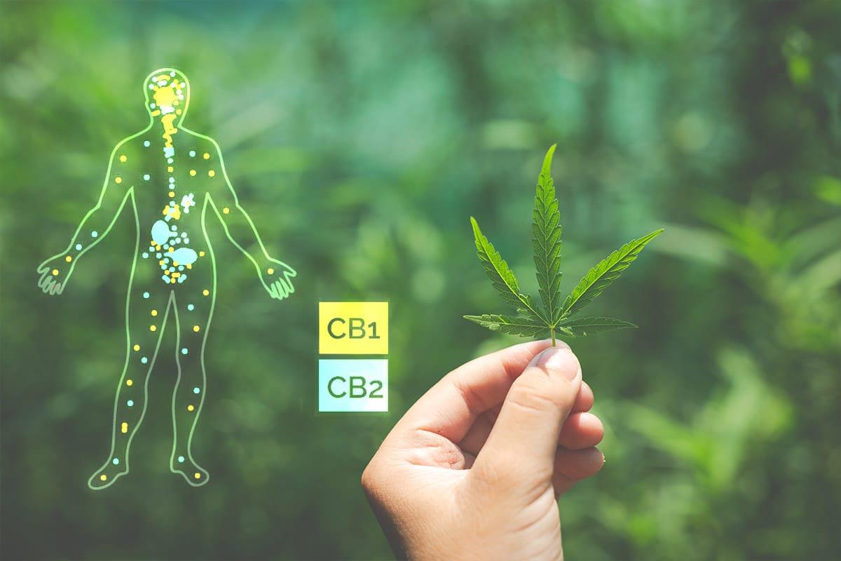 Het Endocannabinoïde Systeem (ECS)